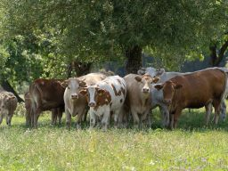 Cows from our own breeding